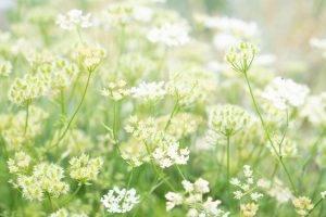 白い小花のアップ
