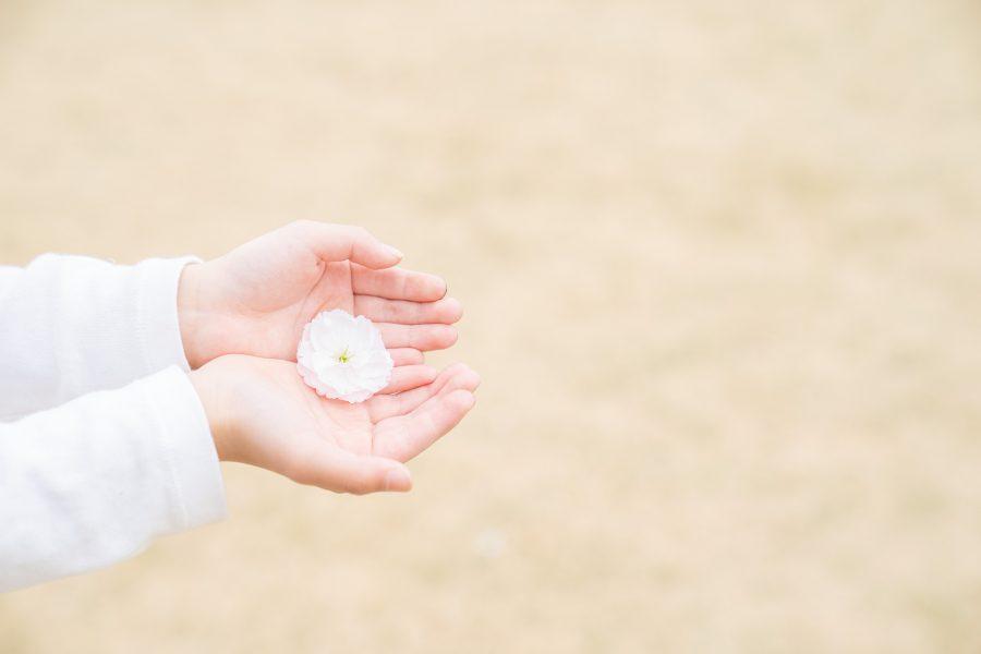 子供の手の中に桜の花のプレゼント