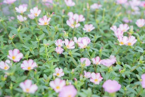 ピンク色の花と緑の葉の画像